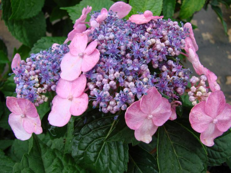 Twist and Shout Endless Summer Hydrangea