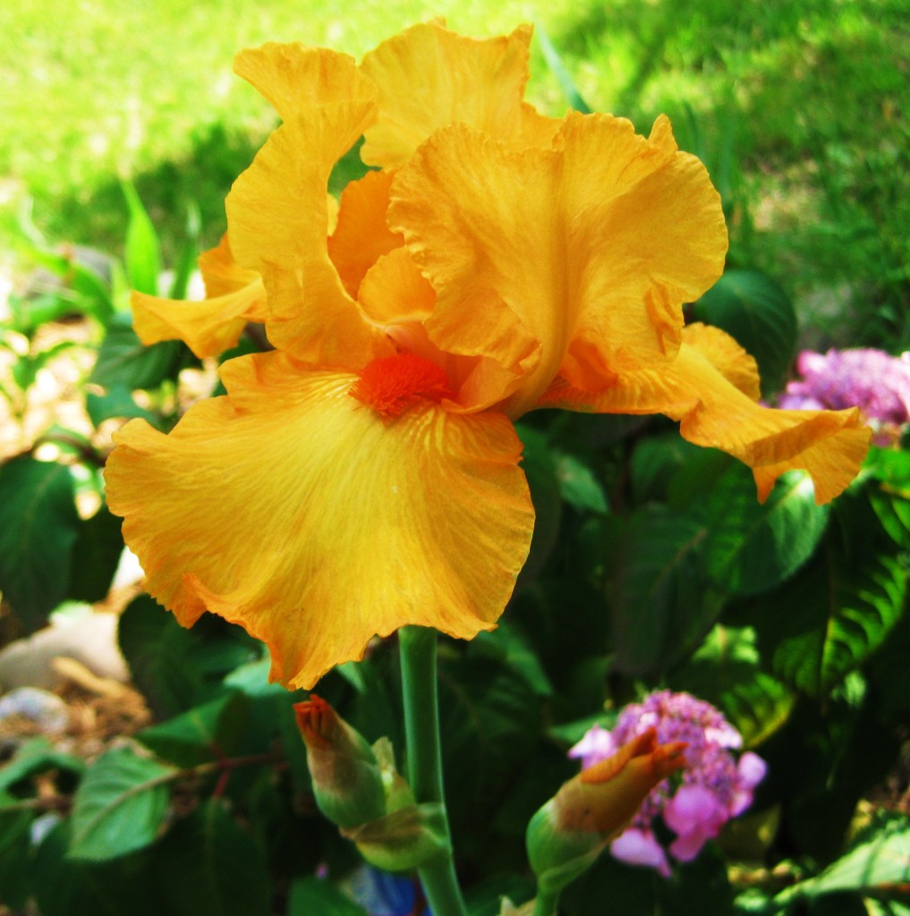 Bearded Iris Flower - Orange Harvest