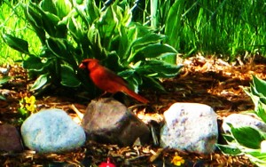 Male cardinal stops by for a sip from the backyard pond.