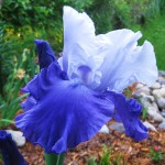 Bearded Iris Flower - Mariposa Skies