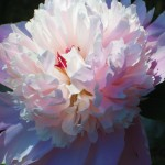 Peony transplanted from farm in Wisconsin