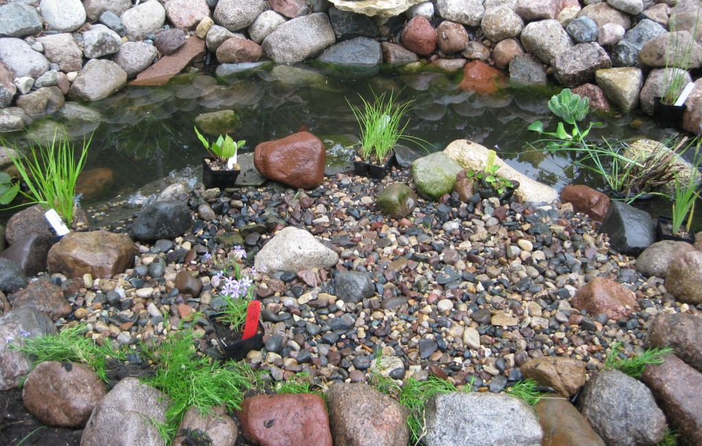 Aquatic Plants Added to Backyard Pond