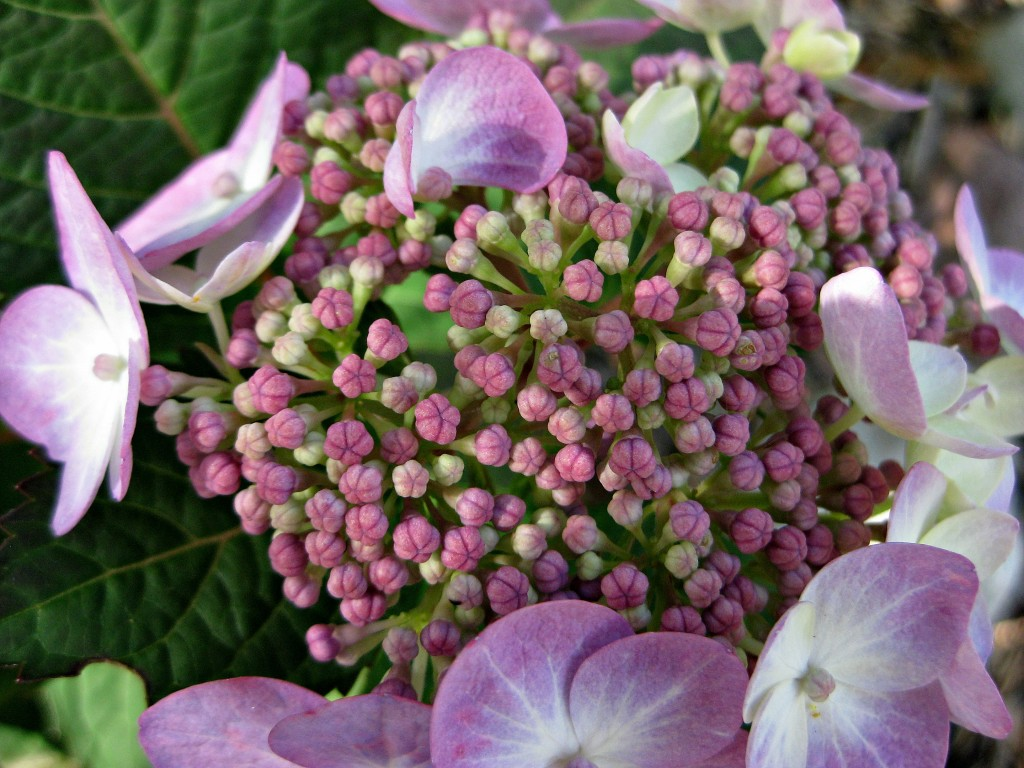 Twist & Shout Endless Summer Hydrangea
