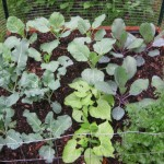 Broccoli, Cabbage, Beans & Cilantro enjoy the rain.