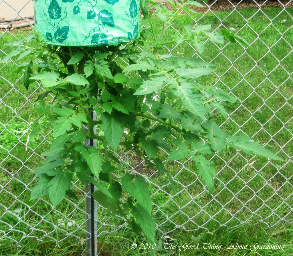 Upside down tomato plant didn't suffer any hail damage.