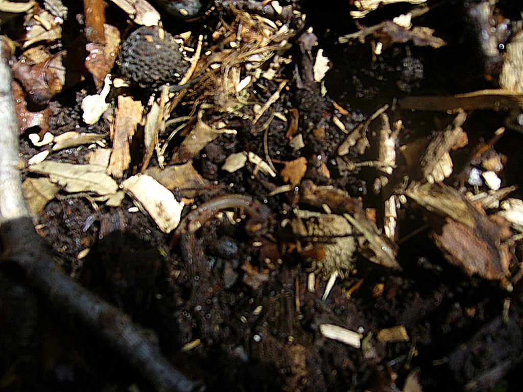 Rich compost made of decomposed bark mulch and oak leaves.  Earth worms make there home in the compost.