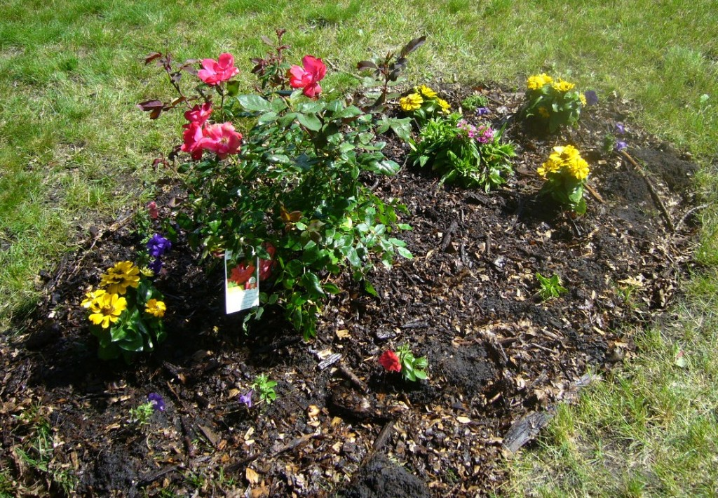 Knock-out Roses, Zinnias, Dianthus, and Purple Petunias provide color until the bulbs grow.