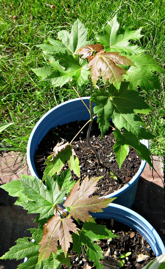 Volunteer maple trees transplanted into pots earlier this spring.