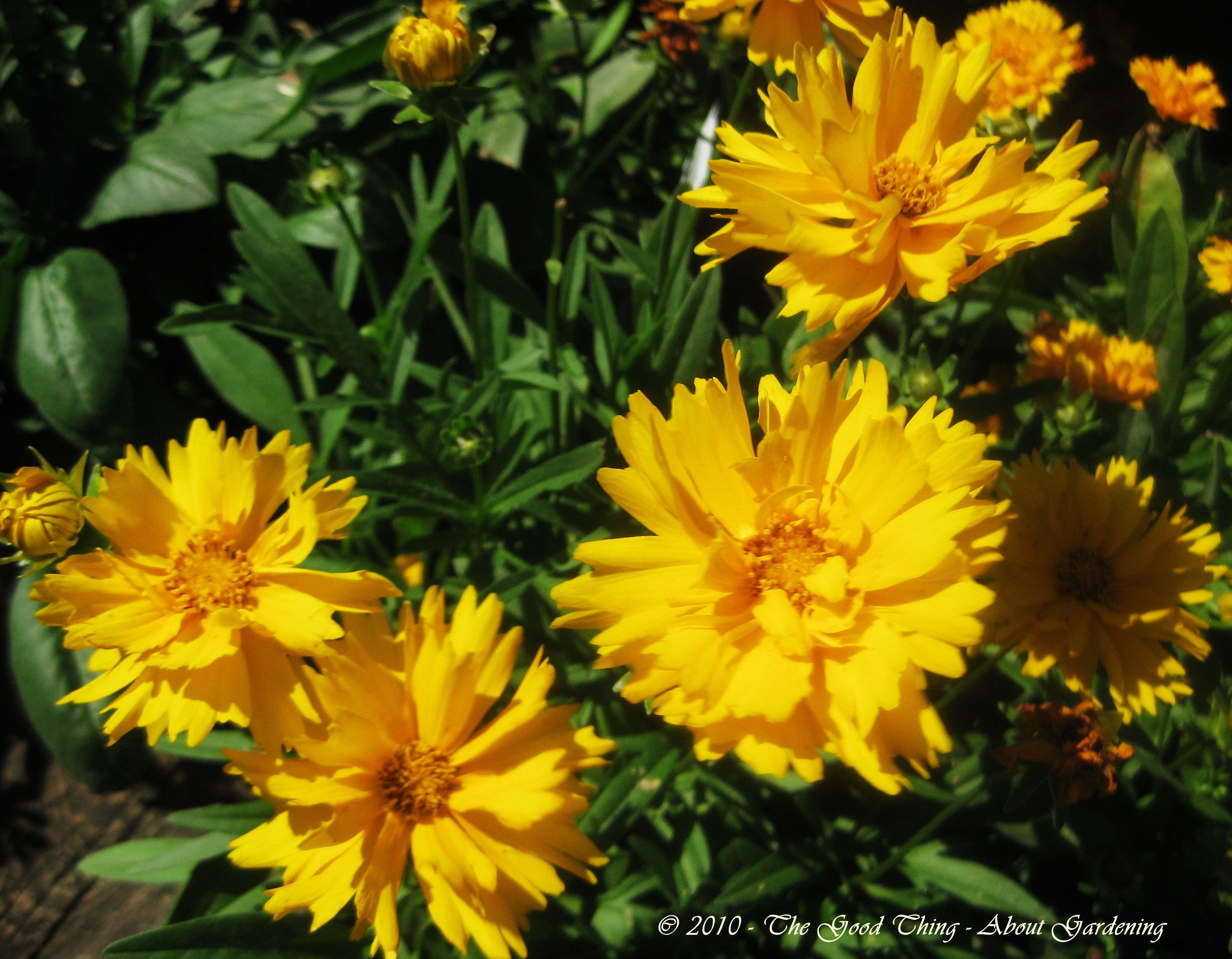 Coreopsis | The Good Thing - About Gardening & Crafting