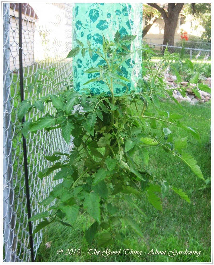 Benefits of growing tomatoes upside down pictures to pin on pinterest pinsdaddy - Upside down gardening ...