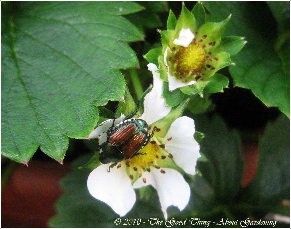 How to rid strawberries of Japanese Beetles