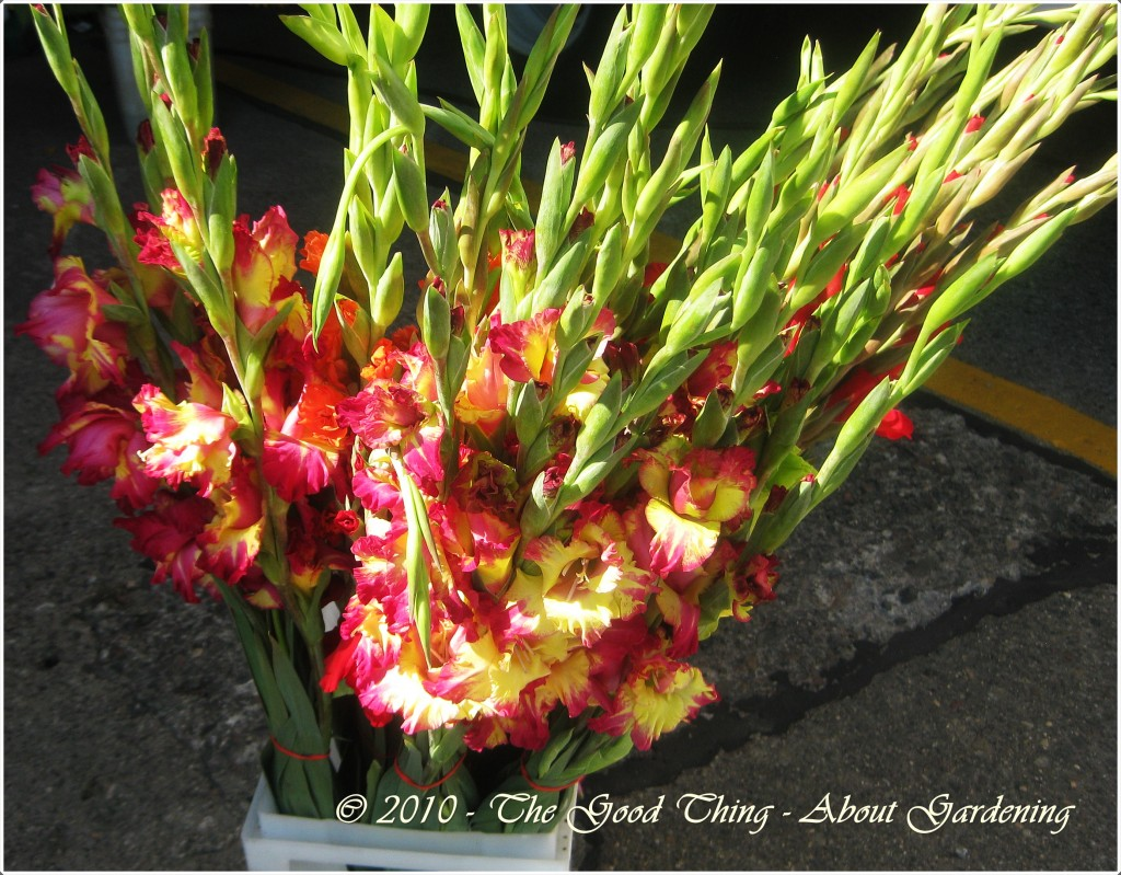 Locally Grown Gladiolas