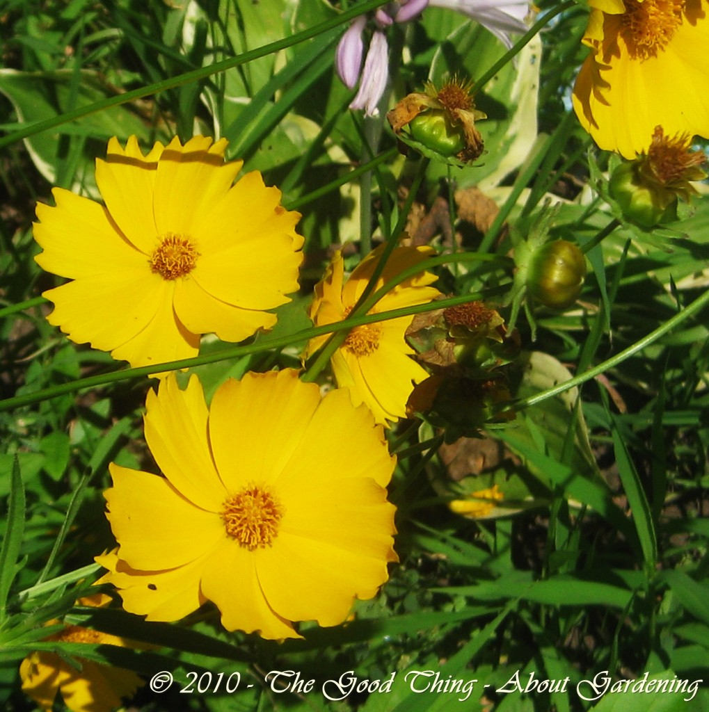 Coreopsis lanceolata-Yellow Tickseed