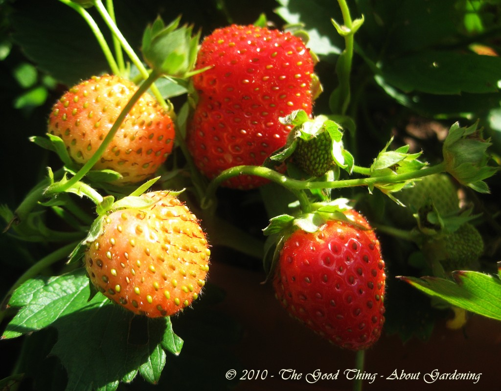 Everbearing Strawberries are Pest Free
