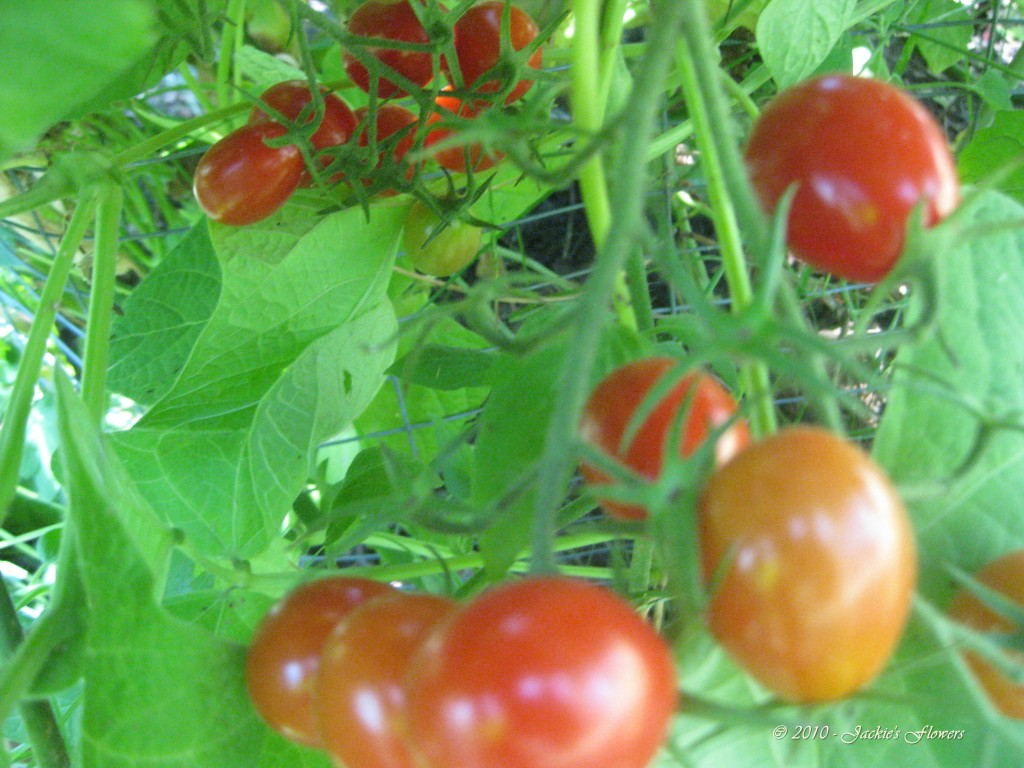Grape Tomatoes are Abundant and Delicious