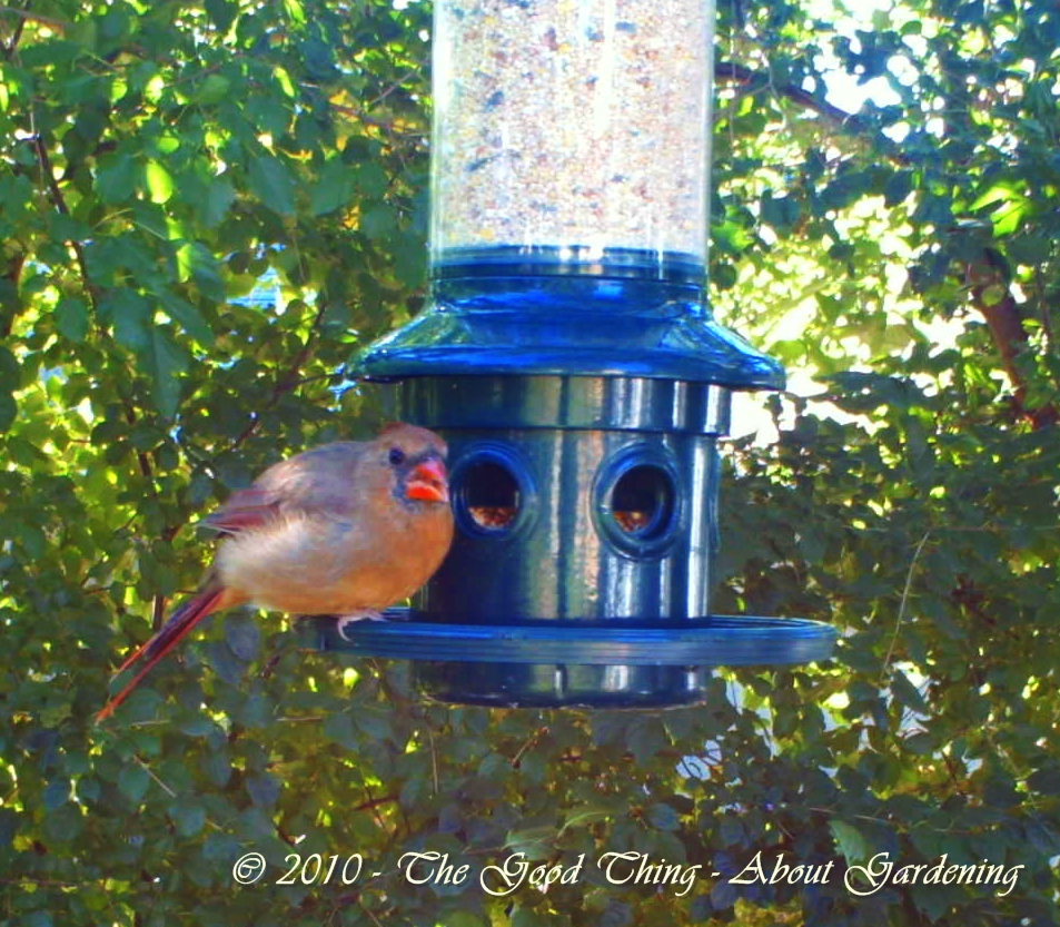 This female Cardinal looks very well-fed.