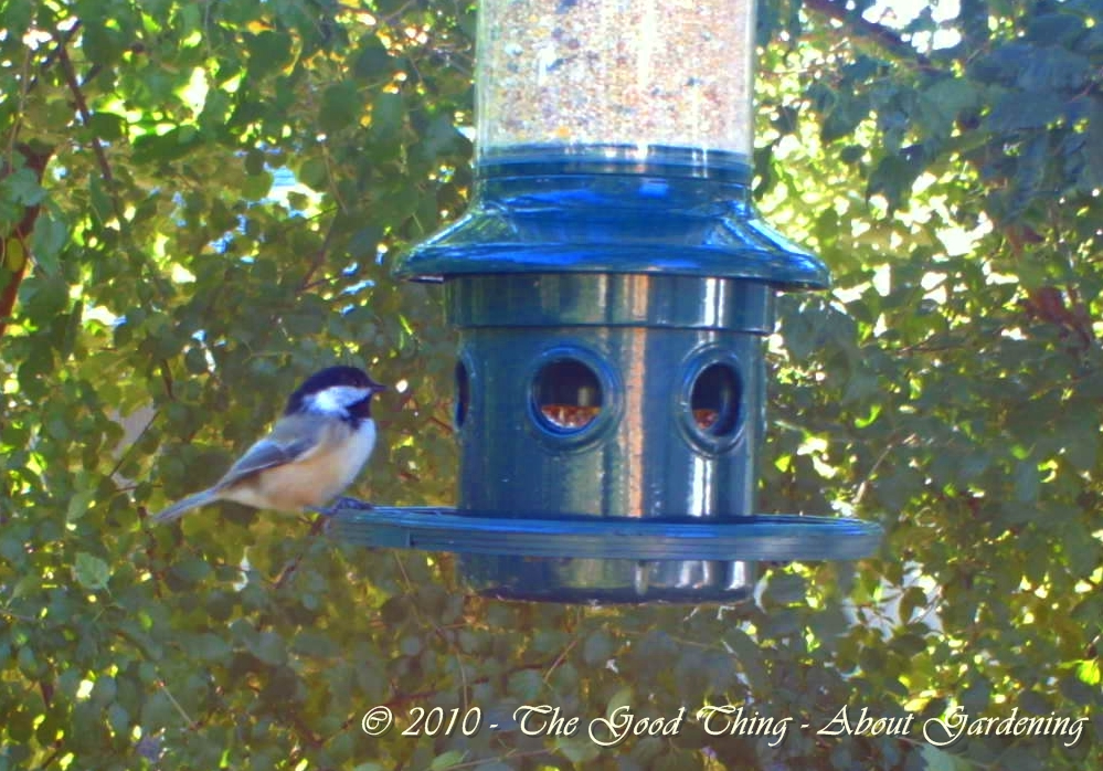 A lone Chickadee stops by for lunch