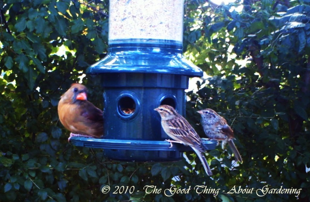 This Momma Cardinal seems to be talking to her daughters.