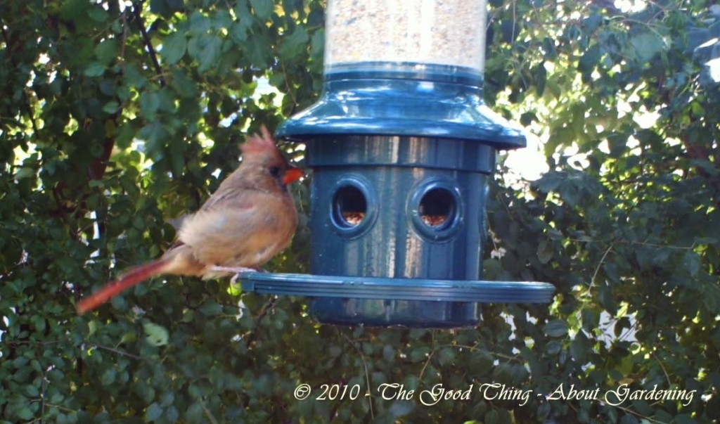 Female Cardinal Eating At the Squirrel Buster Feeder