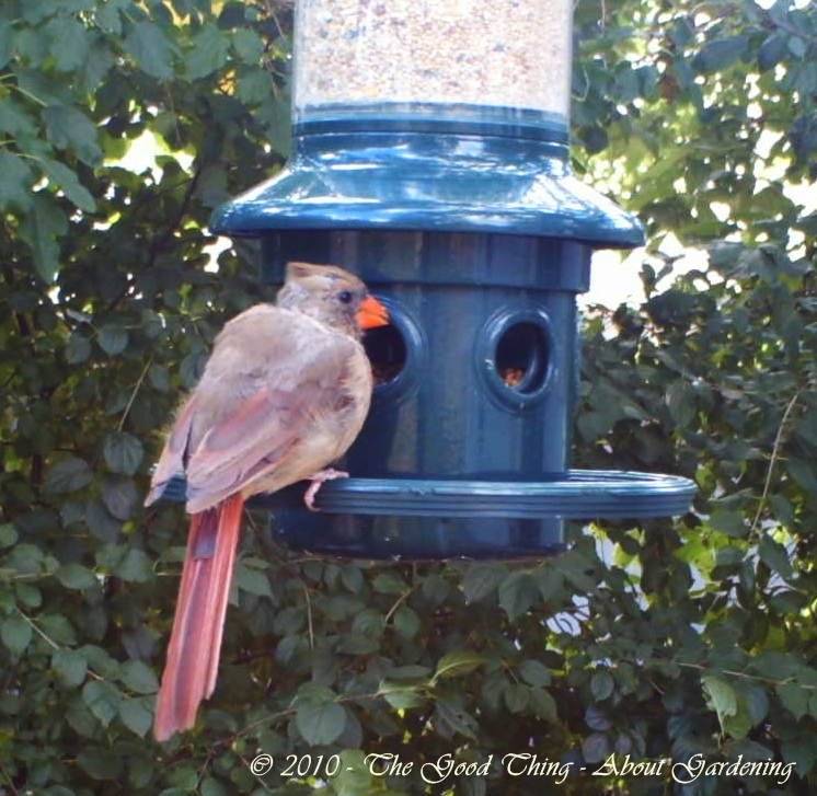 Female Cardinal at the Squirrel Buster