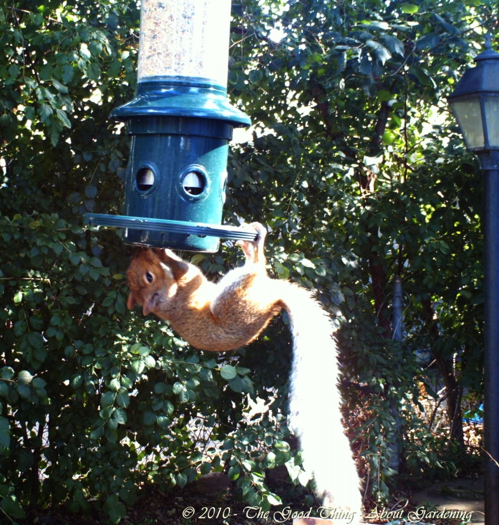 A squirrel attempts to access the birdseed, but his weight pulls the doors closed, preventing him from eating.