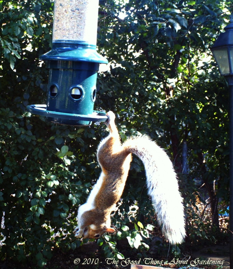 he squirrel finally gives up on getting and seed and leaps to the ground.
