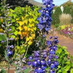 Blue Delphiniums