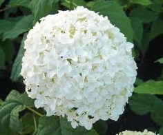 Big Beautiful White Blossoms of the Annabelle Hydrangea